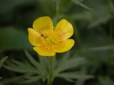 ミヤマキンポウゲ(深山金鳳花)