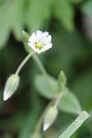 オオミミナグサ(大耳菜草)