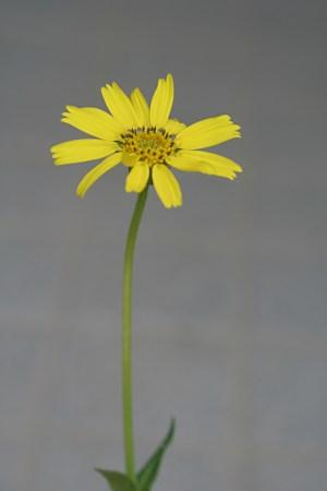 ウサギギク(兎菊)