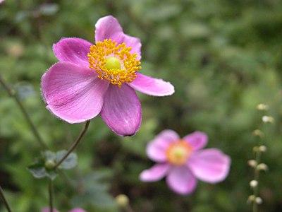 シュウメイギク(秋明菊