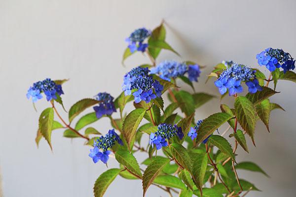 ヤマアジサイ(藍姫)