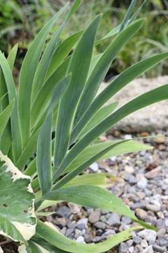 ダルマヒオウギ葉
