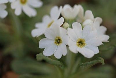 白花根室コザクラ