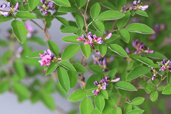 ベニクロバナキハギ(紅黒花木萩)